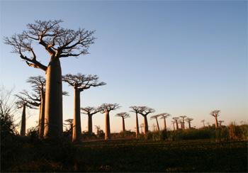 バオバブ並木の夕暮れ