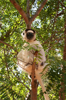 樹上のシファカ