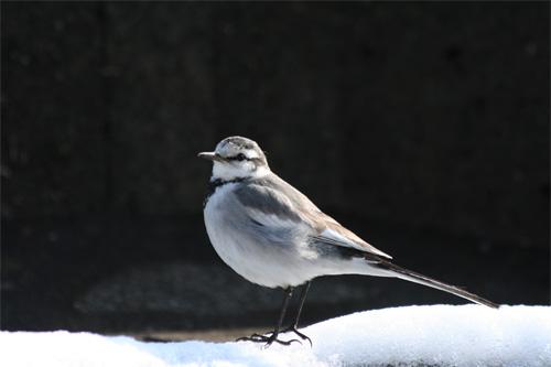 雪の中のセキレイ