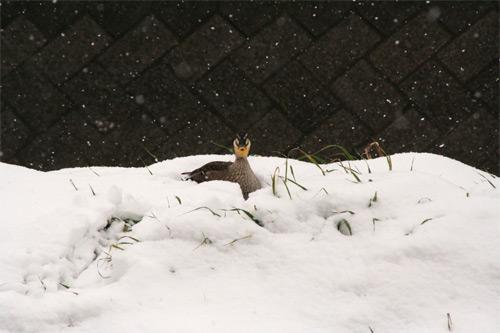 雪の中の鴨