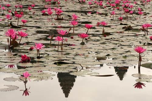 聖池の睡蓮