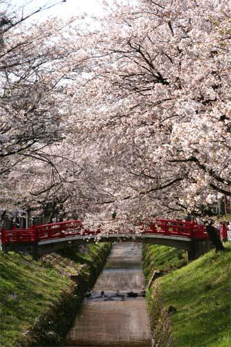 深谷駅の桜