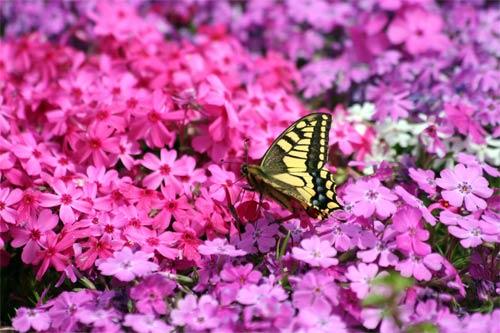 芝桜と蝶々