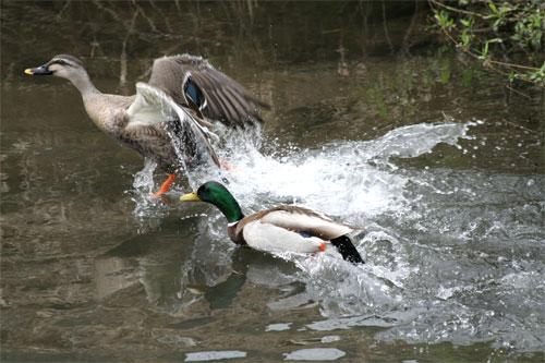 鴨たちの陣取り合戦