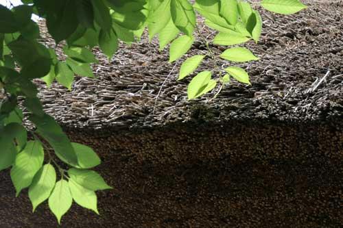 茅葺き屋根と新緑と