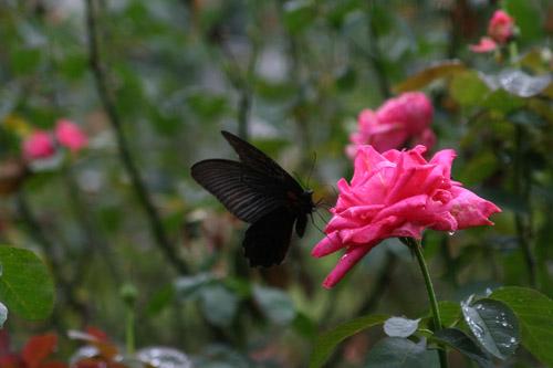 ピンクの薔薇と黒い蝶