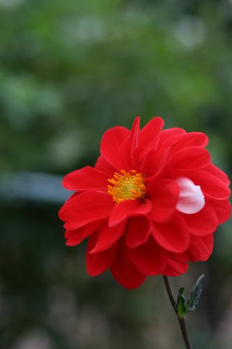 赤いダリアと白い花弁