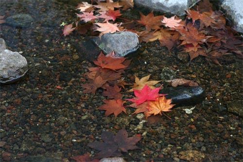 楓の落ち葉