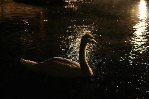 白鳥のいる夜景