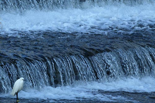 鴨川の白鷺