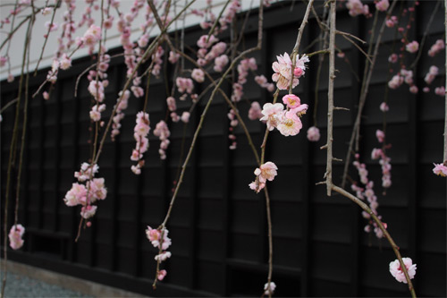 東慶寺のしだれ梅