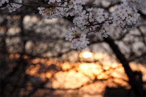 桜、朝焼けの空に
