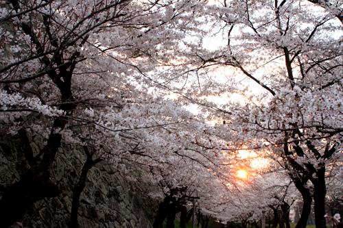 桜と朝焼け