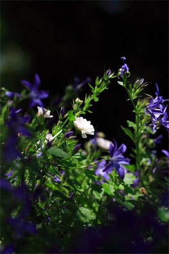 白い花、青い花