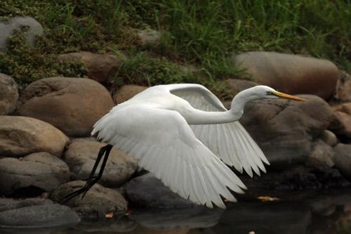白鷺の羽ばたき