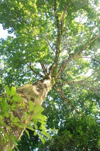 マヤの世界樹