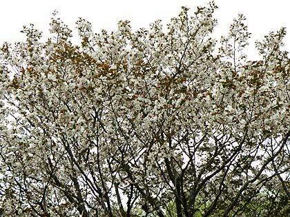 工房の桜1