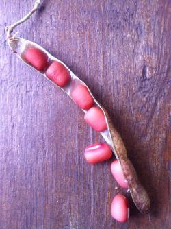 小豆収穫4