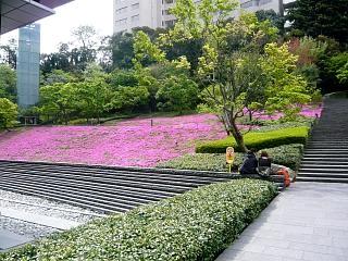 芝桜(その1)