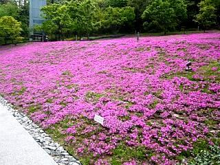 芝桜(その3)