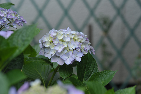 ajisai2012612-3.jpg