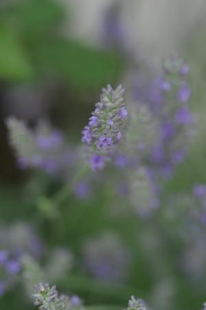lavender2012620.jpg