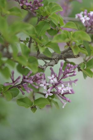 lilac2012501.jpg