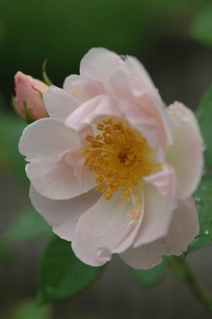 peachb2011624.jpg