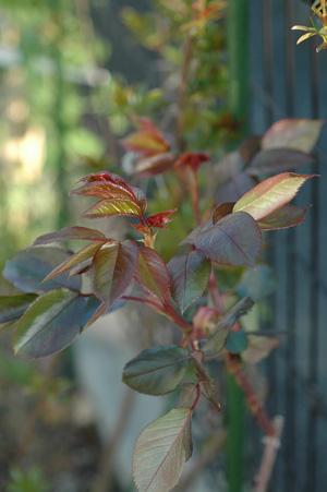 rose2012404-2.jpg