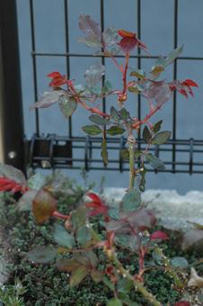 rose2012404-6.jpg