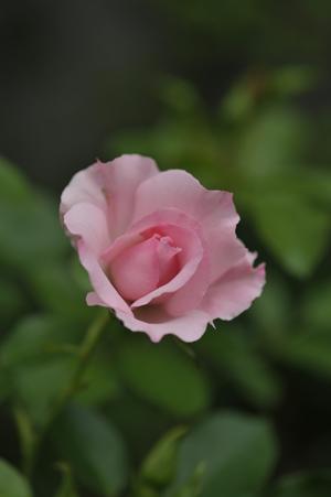 rosendolf2012520-2.jpg
