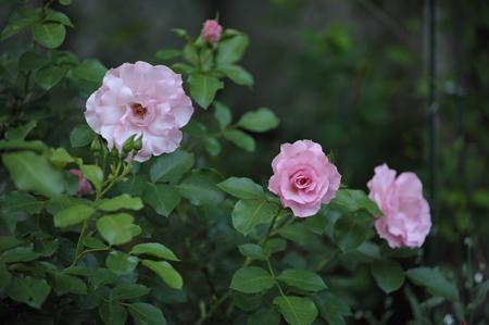rosendolf2012522-2.jpg
