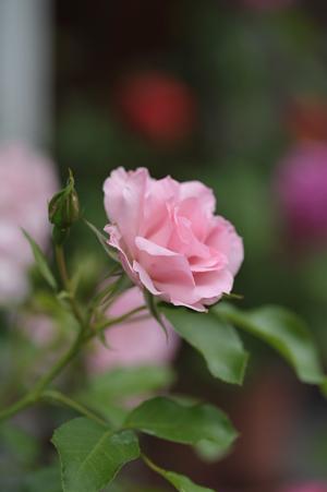 rosendolf2012525.jpg