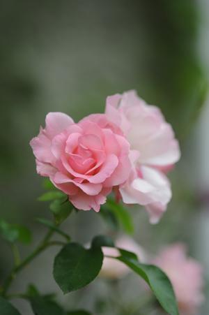 rosendolf2012531.jpg