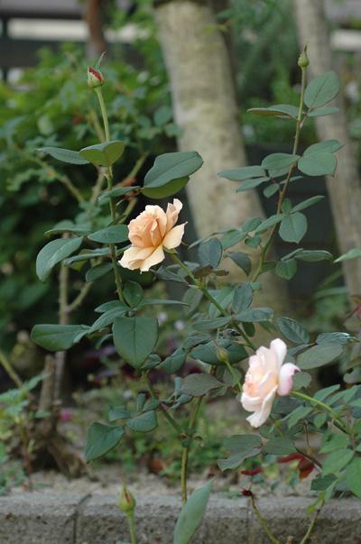 roses20101006-2.jpg