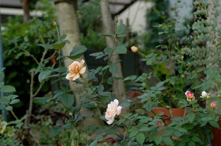 roses20101006-3.jpg