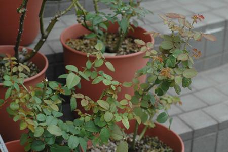 roses2010915.jpg