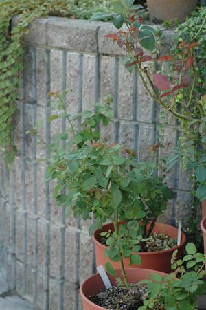 roses2010923.jpg