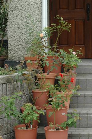 roses2010929-1.jpg