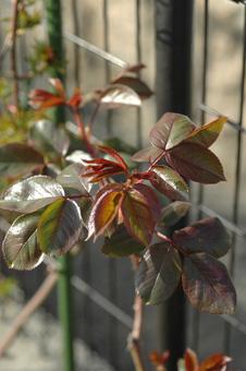 roses2012402-2.jpg