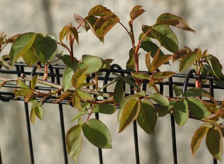 roses2012402.jpg