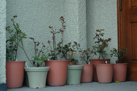 roses2012404-3.jpg