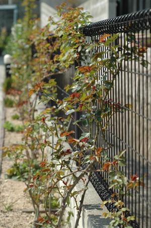 roses2012408.jpg