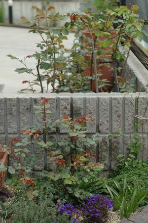 roses2012416.jpg