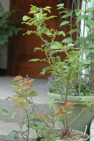 roses2012421-12.jpg