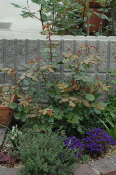 roses2012421-14.jpg