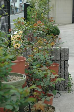 roses2012421-16.jpg