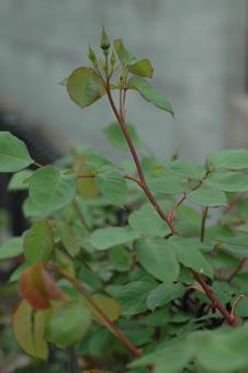 roses2012421-19.jpg