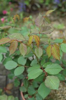roses2012421-2.jpg