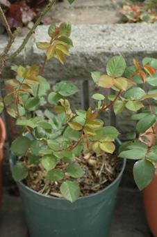 roses2012421-21.jpg